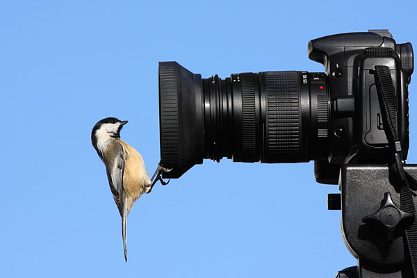 chickadee looking into camera lens