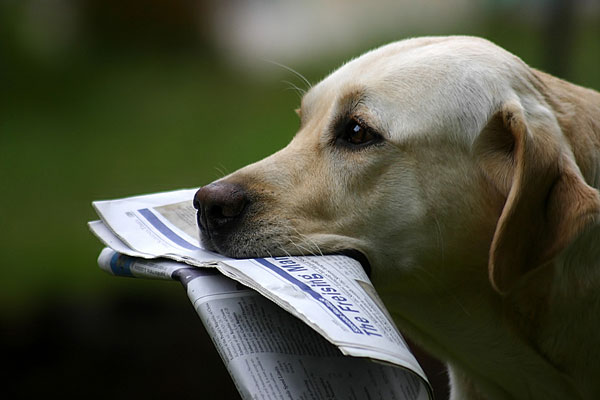 dog fetching a newspaper